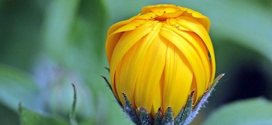 שימוש בצמח מרפא לטיפול בבעיות רפואיות
